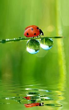 Ladybug Live Wallpaper apk screenshot