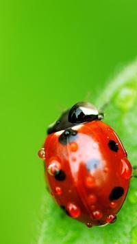 Ladybug Live Wallpaper screenshot 3