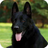 Black Belgian Shepherd Lwp icon