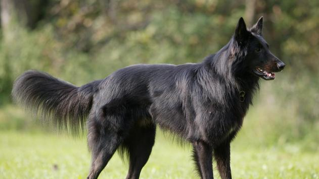 Black Belgian Shepherd Lwp apk screenshot