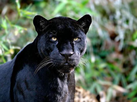 Black Jaguar Live Wallpaper poster