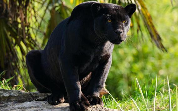 Black Jaguar Live Wallpaper apk screenshot