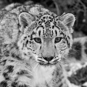Snow Leopard Live Wallpaper icon