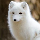 Polar Fox Live Wallpaper icon