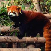 Red Panda Live Wallpaper icon