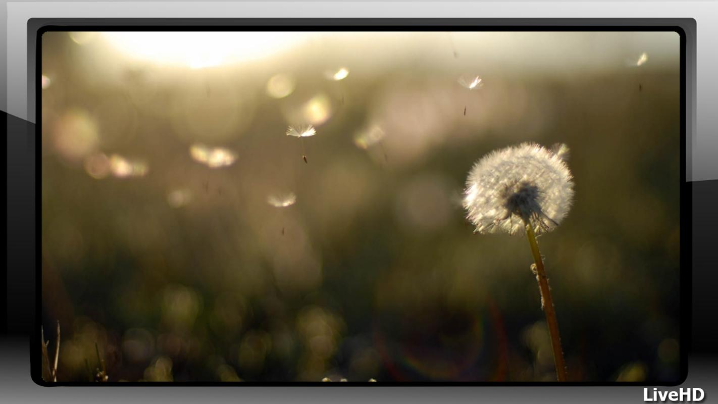dandelion screensaver download