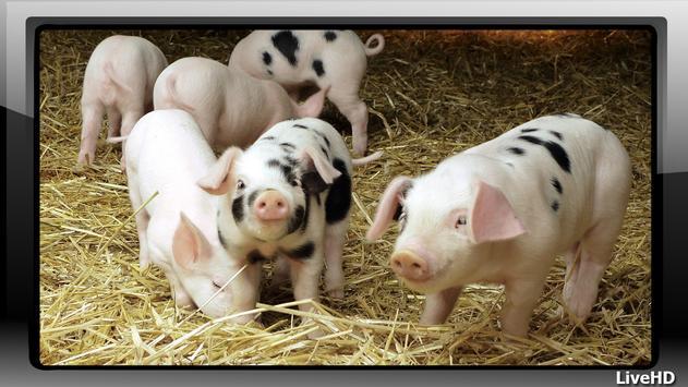 Little Pig Pack 2 Wallpaper screenshot 1