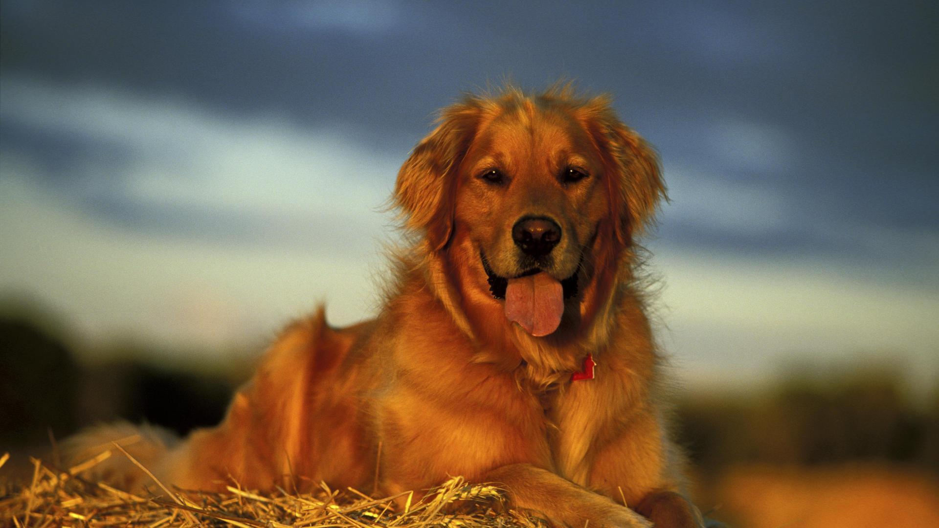Golden Retriever Hd Wallpaper For Android Apk Download