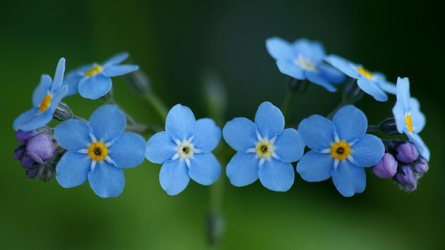 Light blue flower.  Wallpaper poster