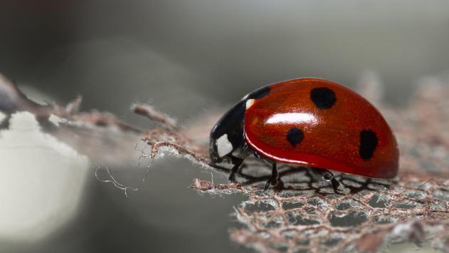 Flower and ladybug. Wallpaper apk screenshot