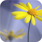 Yellow flowers. Live wallpaper icon