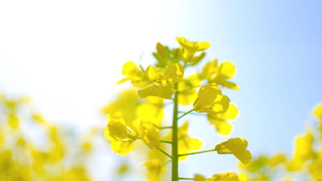 Yellow flowers. Live wallpaper apk screenshot