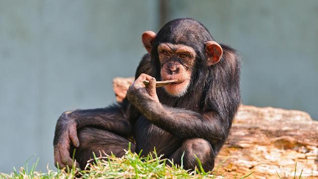 Funny chimpanzee apk screenshot