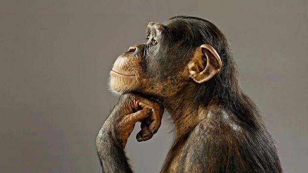 Funny chimpanzee poster