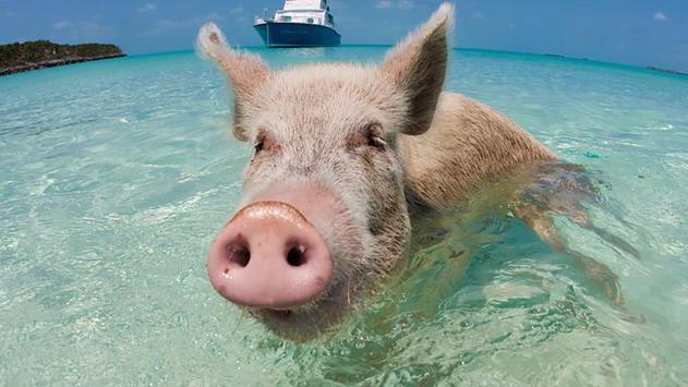 Swimming. Happy pigs screenshot 3