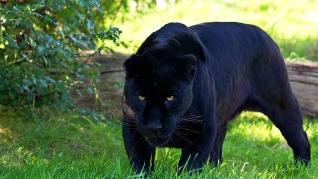 Black Panther Animal Wallpapers: Black Panther Animal Wallpaper For Android