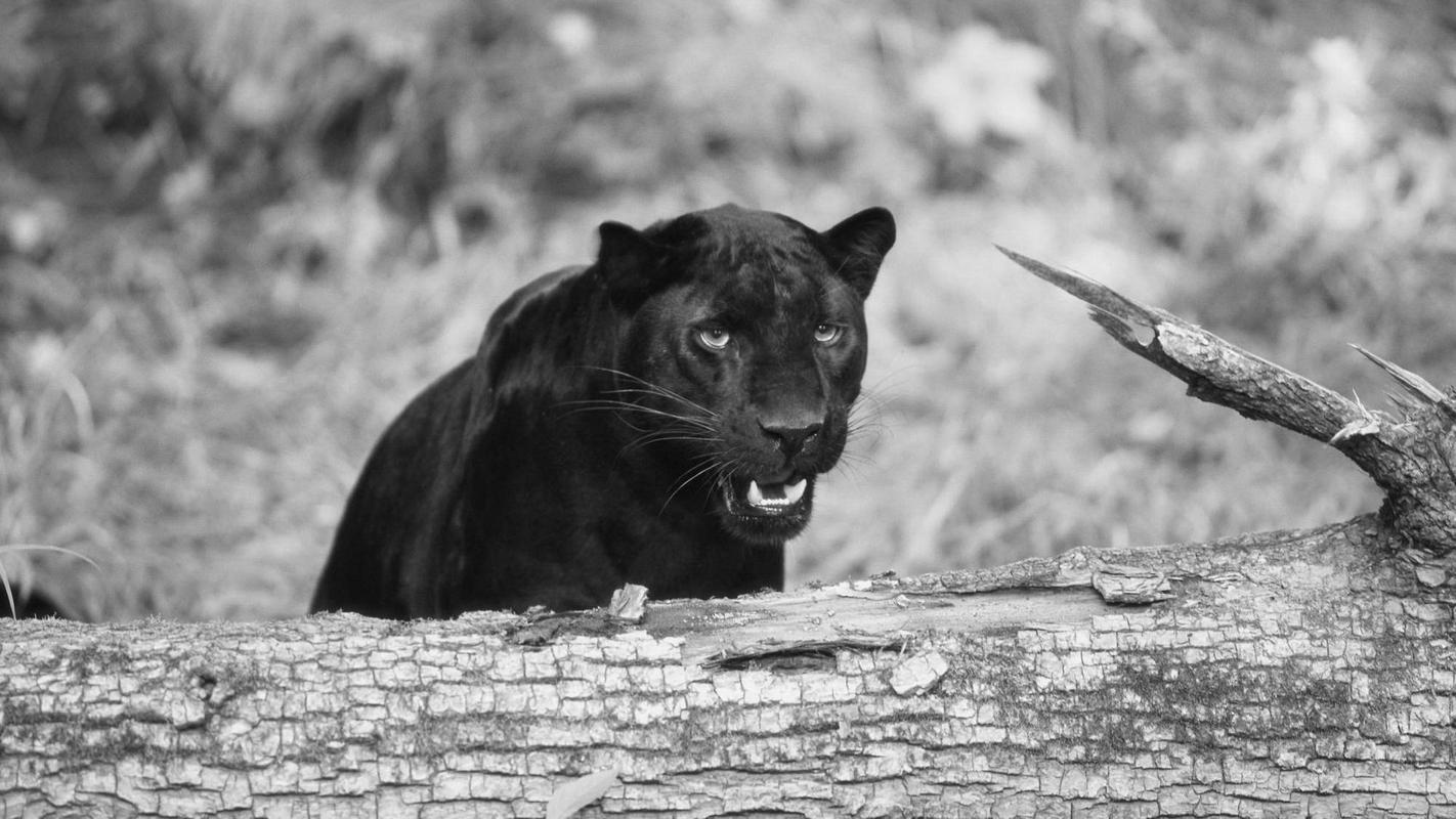 Black Panther Animal wallpaper安卓下载,安卓版APK | 免费下载