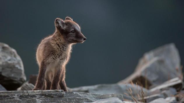 Arctic Fox. Animal Wallpaper apk screenshot
