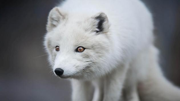 Arctic Fox. Animal Wallpaper poster