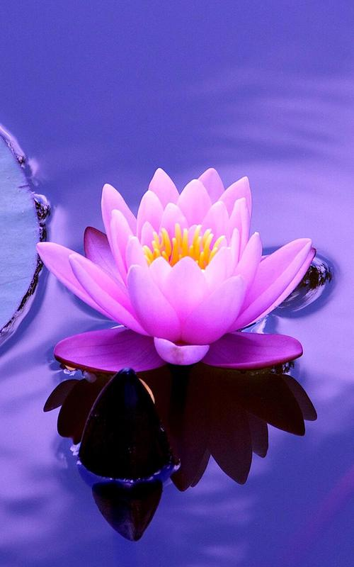 Lotus Flower Live Wallpaper For Android Apk Download