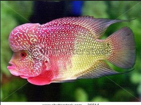 Louhan Fish apk screenshot