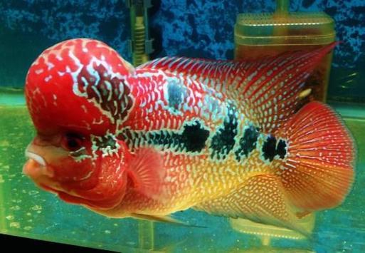 Louhan Fish Gallery screenshot 5