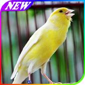 Panduan Merawat Burung Kenari icon