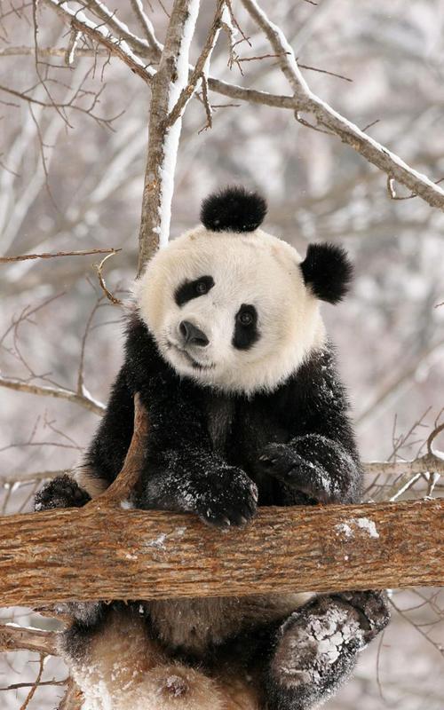 壁纸动物熊猫_熊猫动态壁纸安卓下载,安卓版APK|免费下载