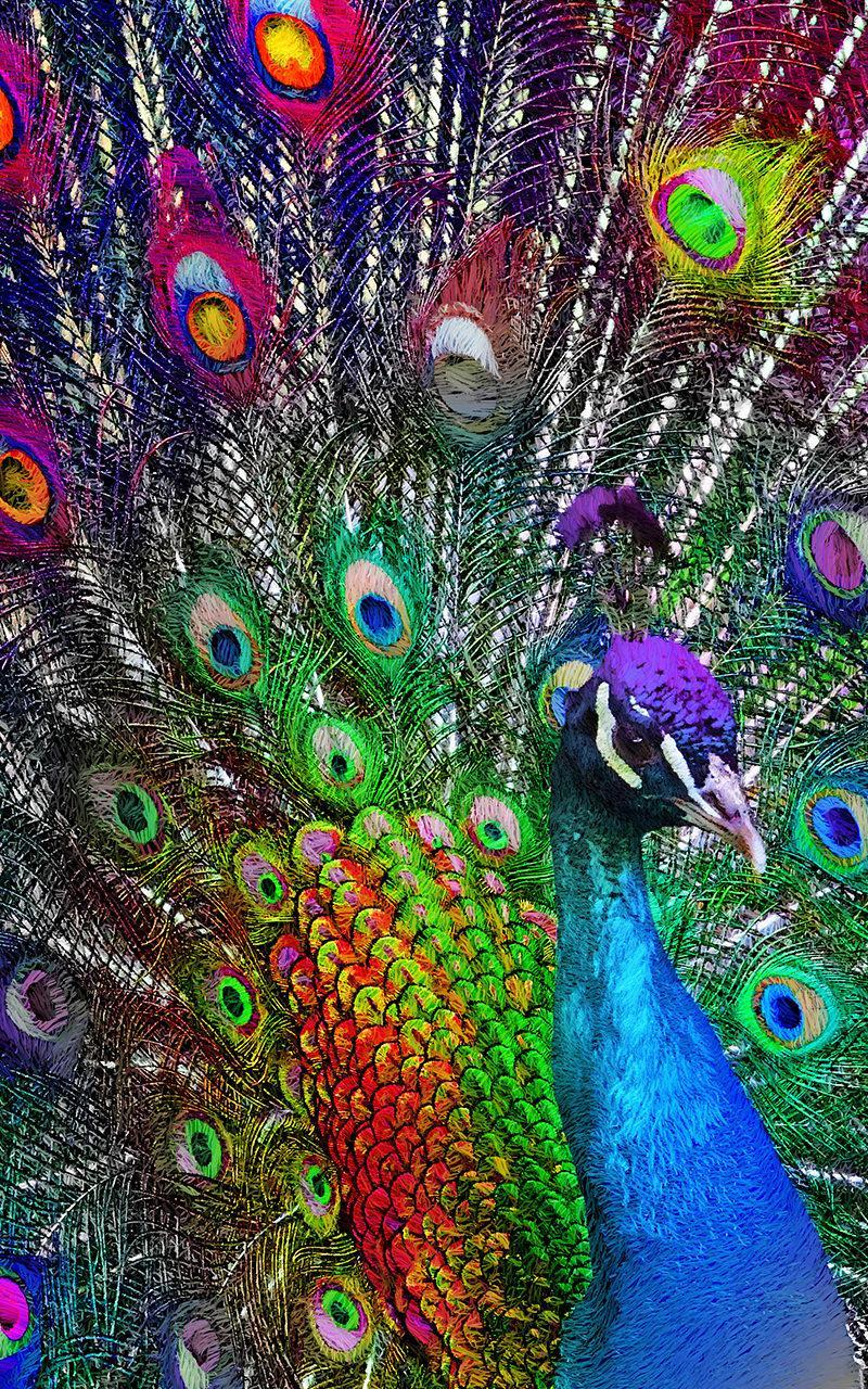 88 Gambar Burung Merak Hd HD