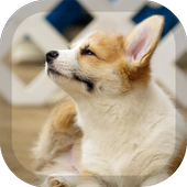 Corgi Wallpaper icon