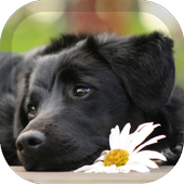 Labrador Wallpaper icon