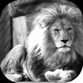 White Lion Pack 2 Wallpaper icon
