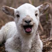 Sheep Live Wallpaper icon