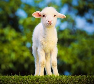 Sheep Live Wallpaper apk screenshot