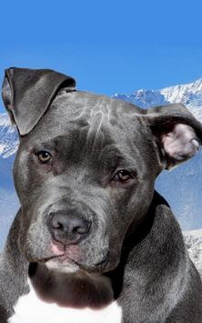 Pitbull Dog Live Wallpaper screenshot 3