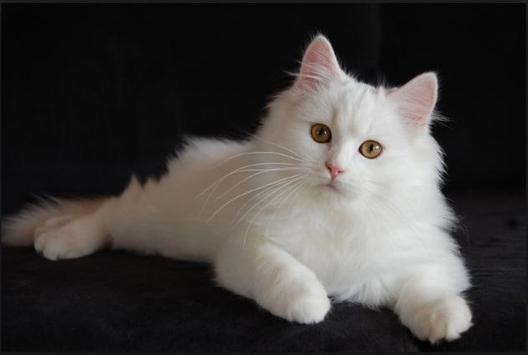 Rare Cat poster