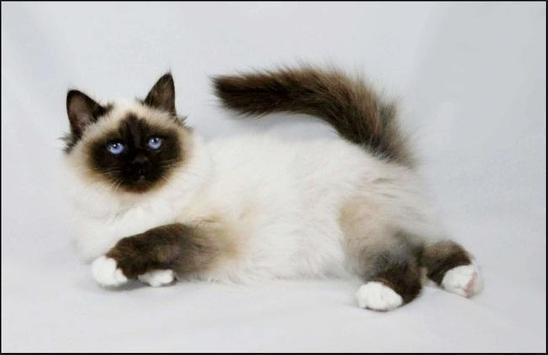 Rare Cat apk screenshot