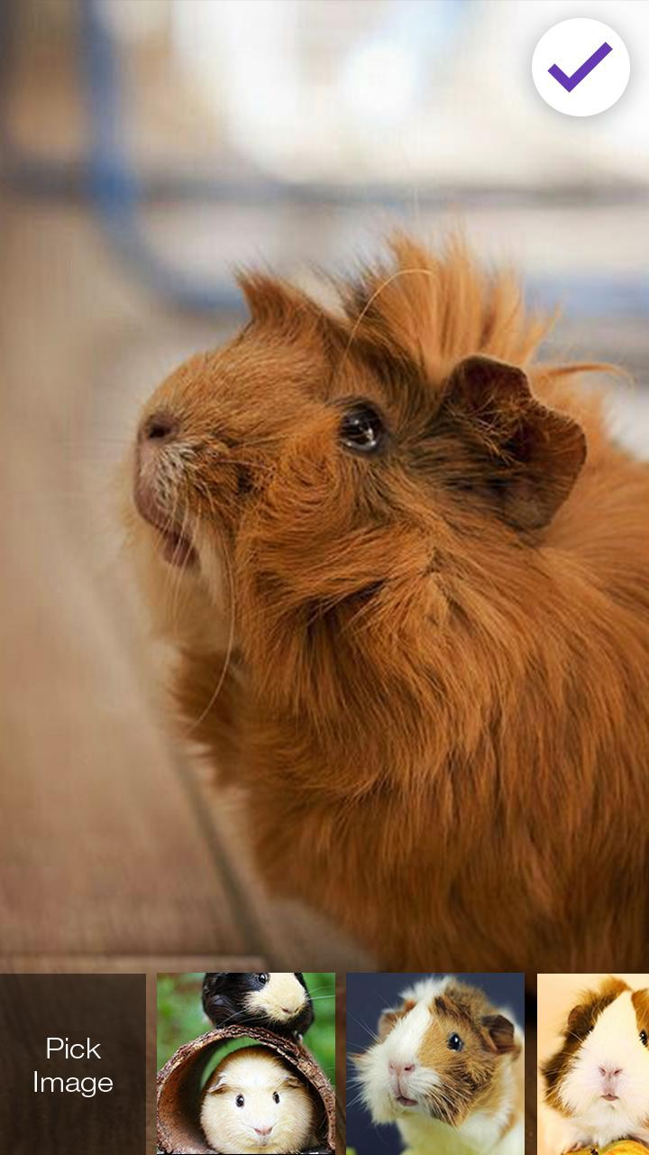 Guinea Pig Animal Home Wallpaper App Lock For Android Apk Download
