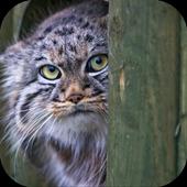 Pallas Cat. Animal Wallpaper icon