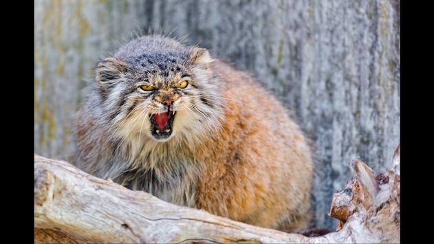 Pallas Cat. Animal Wallpaper screenshot 1