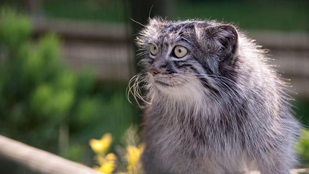 Pallas Cat. Animal Wallpaper screenshot 2