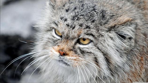 Pallas Cat. Animal Wallpaper screenshot 3