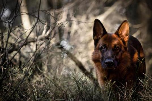 German Shepherd Live Wallpaper apk screenshot