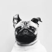 Pug Dog Live Wallpaper icon