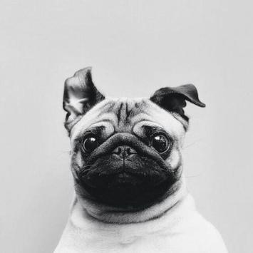 Pug Dog Live Wallpaper poster