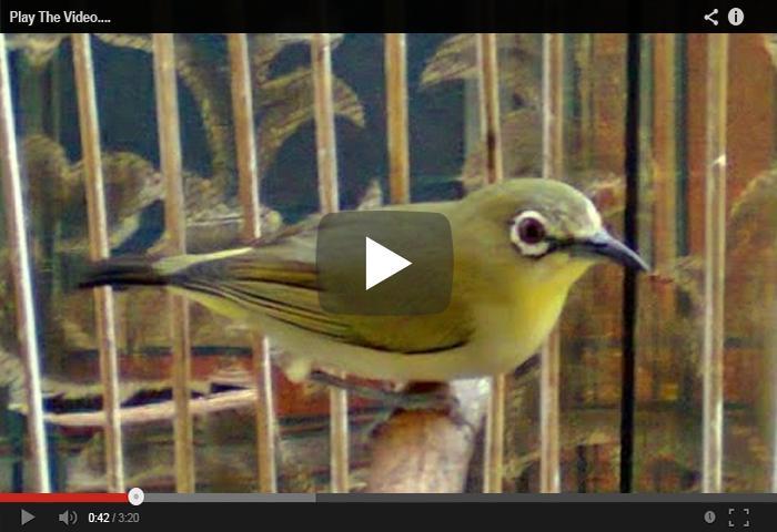 Suara Burung Pleci Betina Fur Android Apk Herunterladen