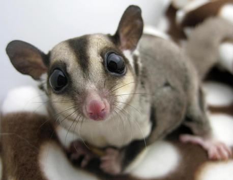 sugar glider photo collection apk download free lifestyle app for