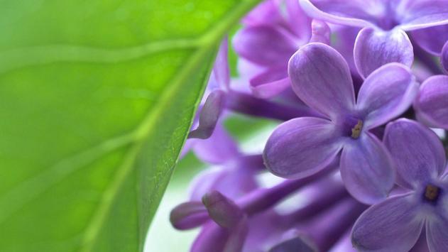 Lovely lilac. Flower Wallpaper apk screenshot