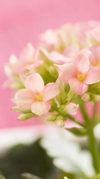 Pink bud. Flower HD wallpapers apk screenshot