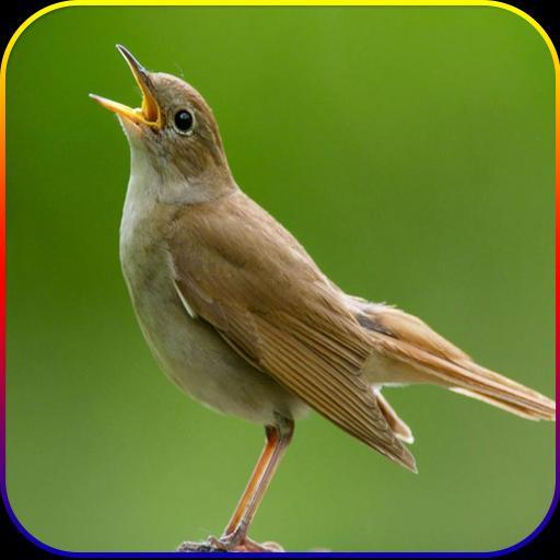 Kicau Suara Burung Sikatan Londo Mp3 For Android Apk Download